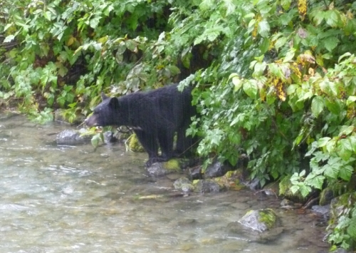 Hyder cub checking for salmon