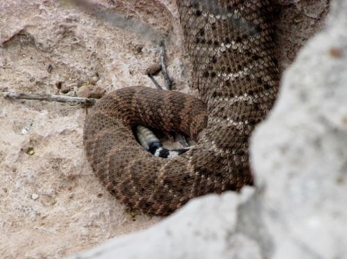 Western Diamonback Rattlesnake (Tail)